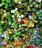 Buxus multicolor