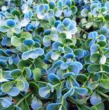 blauwe buxus