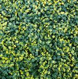 Gele buxus