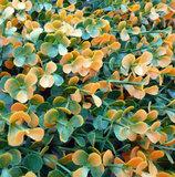 oranje buxus