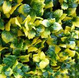 Leucodendron geel
