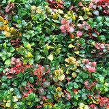 Leucodendron multicolor