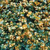 Leucodendron oranje