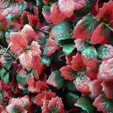 Leucodendron rood
