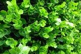 Buxus vegetatie kunsthaag_
