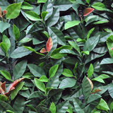 Photinia Red-robin
