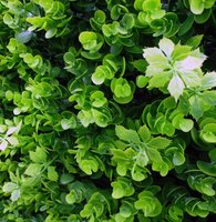 Boxwood vegetation artificial hedge.