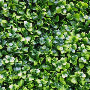 Leucodendron groen