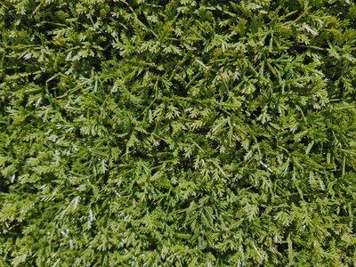 duizendblad mos